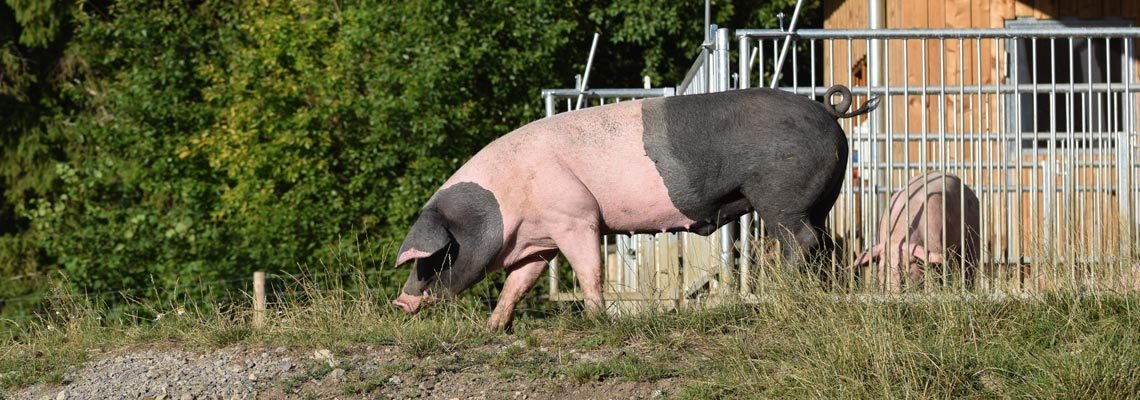 Erlebnis Bauernhof Schweinestall