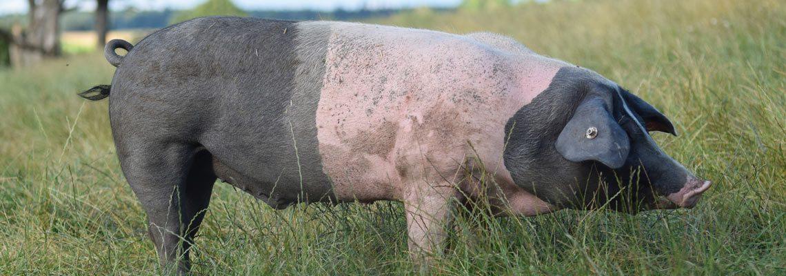 Erlebnis Bauernhof Schwein