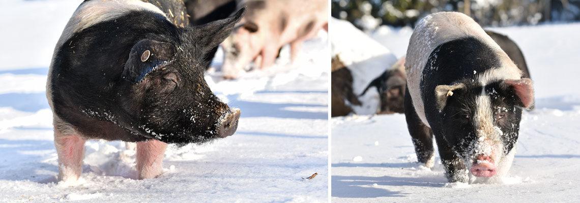Schwäbisch-Hällisches Landschwein im Erlebnis Bauernhof Waldmössingen / Winter 2017